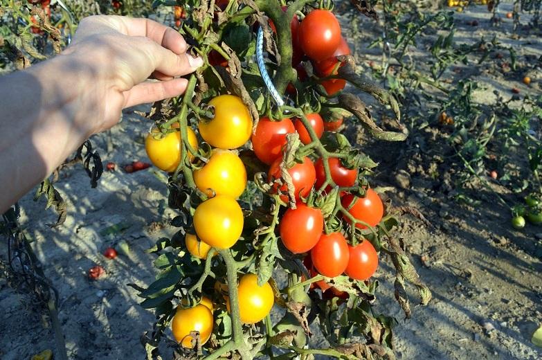 F2 generace mé oblíbené hybridní odrůdy: Žluté plody vlevo mají zastavené dozrávání. Pocházejí z homozygotní rostliny obsahující tzv. rin gen (ripening inhibitor).