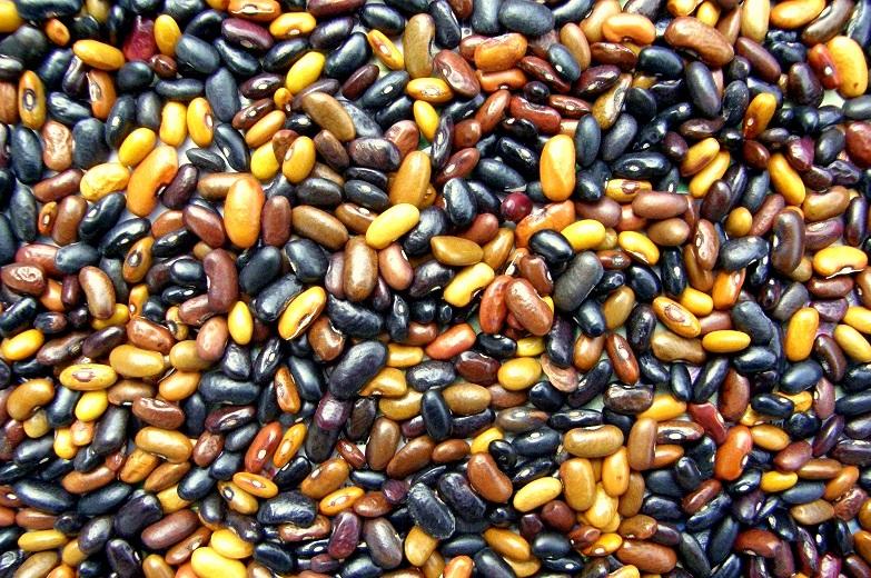 Neuniformní osivo fazolí Beefy Resilient Grex.