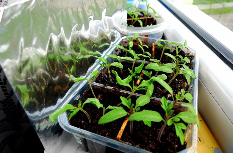 pěstování rajčat na balkoně - předpěstování sazenic
