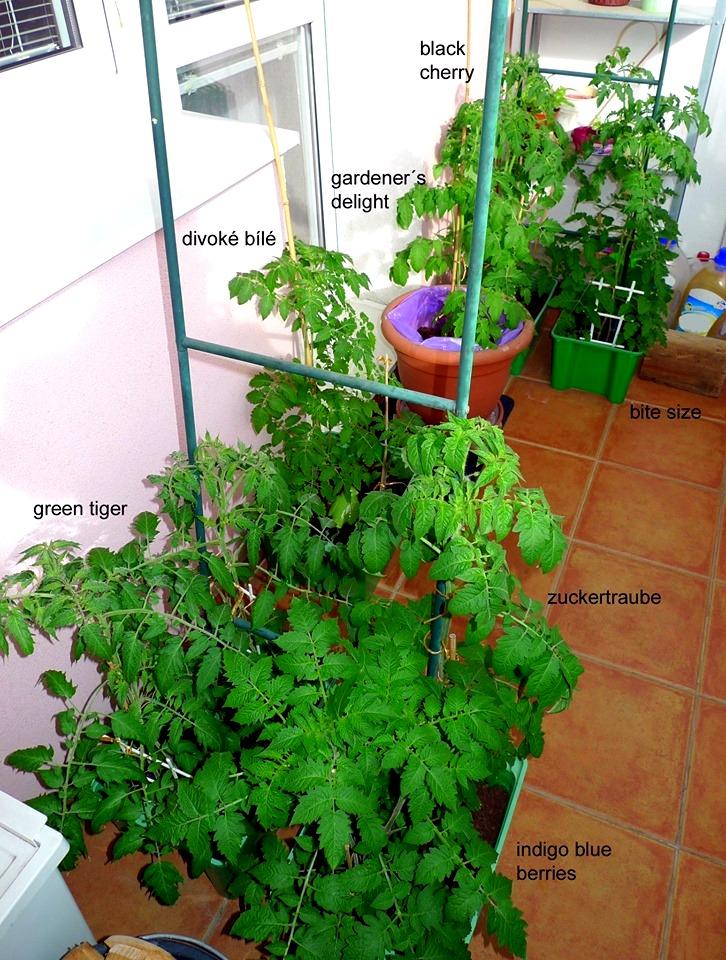 pěstování rajčat na balkoně