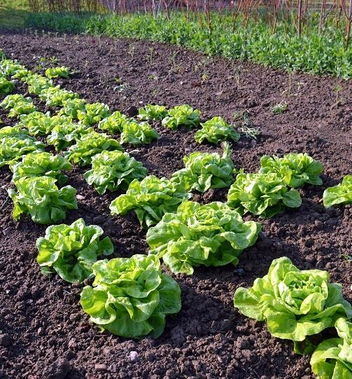Zlatý rekord - stará odrůda salátu.