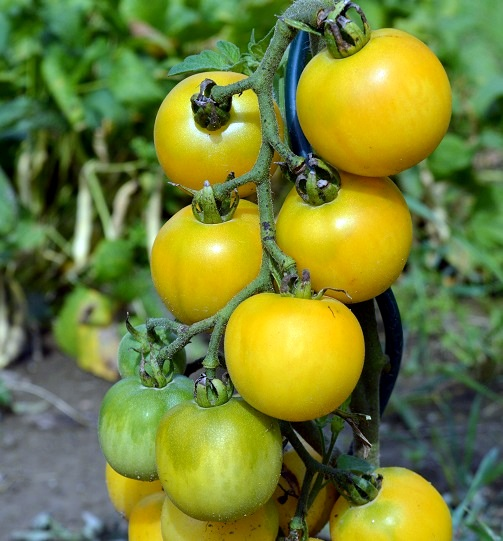 Wapsipinicon Peach - stará americká odrůda broskvového rajčete.