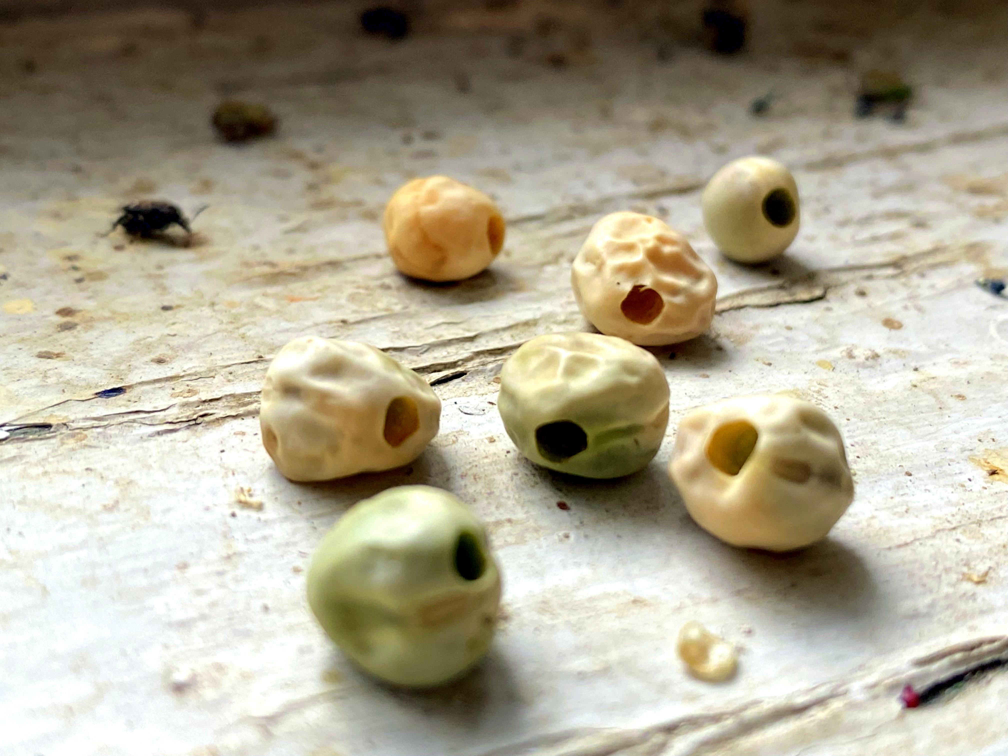 Semena hrachu poškozená zrnokazem.