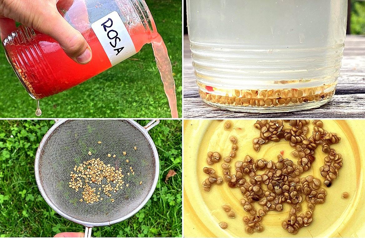 Semenaření rajčat: Prokvašená semena nařeďte vodou a postupným odléváním se zbavte zbytků dužniny a špatných semen.